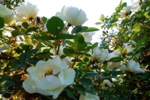 rose med nydelig duft